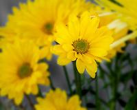 WA11656-00...WASHINGTON - Yellow daisy flower.