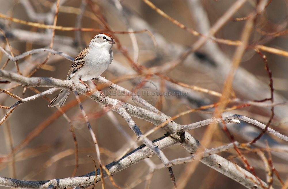At any time of the year, especially, in spring, Chipping Sparrows may be seen in trees, even up in the canopy, where they forage on fresh buds.