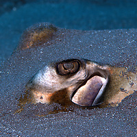 Closeup of Southern Sting Ray buried in sand.