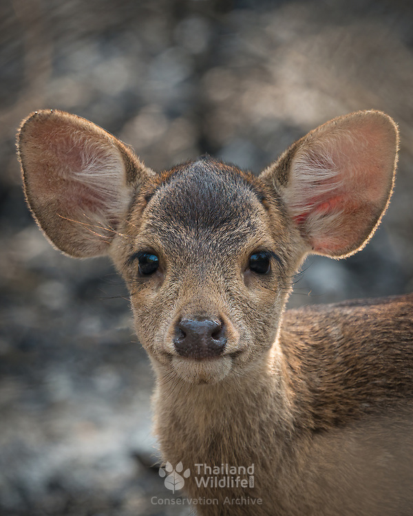 Indohinese Hog deer - Once widespread and relatively abundant, the hog deer has suffered dramatic declines, and now survives as re-rintroduced species in Thailand's wildlfe preserves.