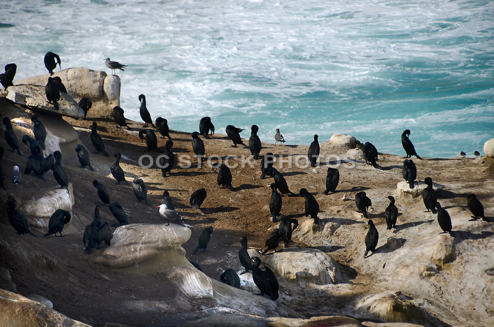 Brandt's Cormorant at La Jolla Cove Beach San Diego County