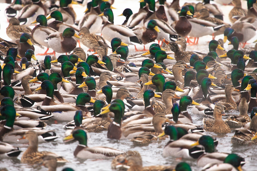Mallards on a cold winter morning in Montana.