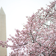 Washington DC's cherry blossoms in bloom around the Tidal Basin, with the Washington Monument in the background.