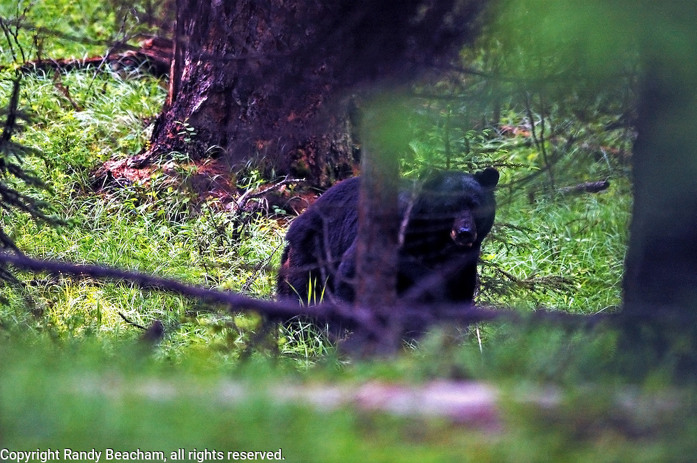 Black bear in an old-growth larch forest. Yaak Valley, Montana