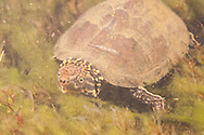 Eastern Musk Turtle<br />