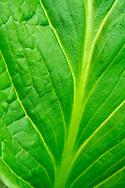 Detail of a skunk cabbage leaf.