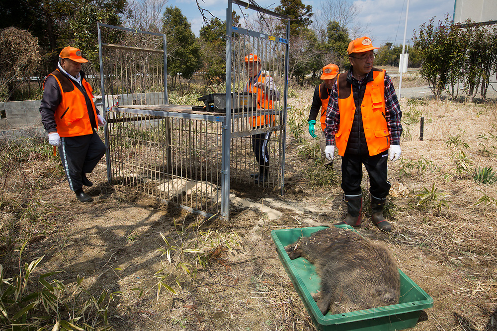 "TOMIOKA TOWN, JAPAN - MARCH 30 : Members of Tomioka Town's animal control hunters group, killed a wild boar roaming around residential area near Tokyo Electric Power Co's (TEPCO) tsunami-crippled Fukushima Daiichi nuclear power plant in Tomioka town, Fukushima prefecture, Japan, March 30, 2017. According to team leader Shoichiro Sakamoto, ""They used to live in the deep of the mountain but because no people live in here, they came down to the village and started having life here in town, propagated themselves and they became so many, and now it's a huge problem."" (Photo by Richard Atrero de Guzman/NUR Photo)"