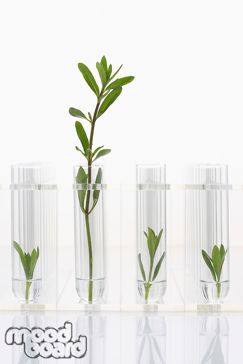 Seedlings growing in test tubes one larger plant contrasted with three smaller ones