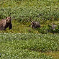 Grizzly bear. Kananaskis Country, Alberta, Canada.