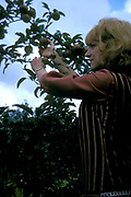 Girl picking apples in the countryside UK 1963