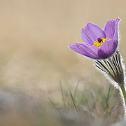 Pasque flower (Anemone pulsatilla) in bloom with a little black spider on one of the leafs