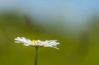 A wild shasta daisy wildflower in full bloom.