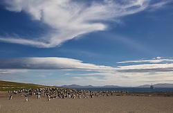 Gentoo penguins, Saunders Island, Falklands