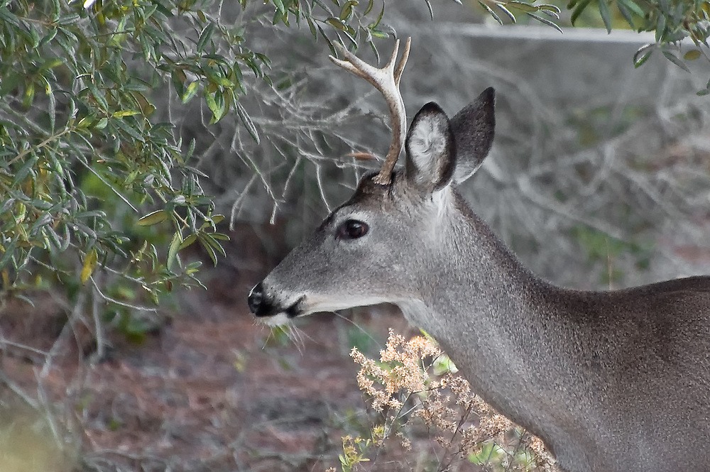 This six-point buck nearly walked into me in the woods near Panama City, Florida. As it was in the middle of rutting season, it's no wonder that it was distracted!