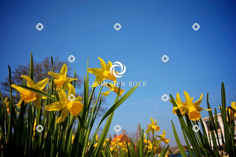 BOMMELERWAARD - De Lente is officieel van start gegaan. Overal zie je mensen genieten van het heerlijke voorjaarsweer.  Met op de foto mooie gele narcissen. FOTO LEVIN DEN BOER - PERSFOTO.NU