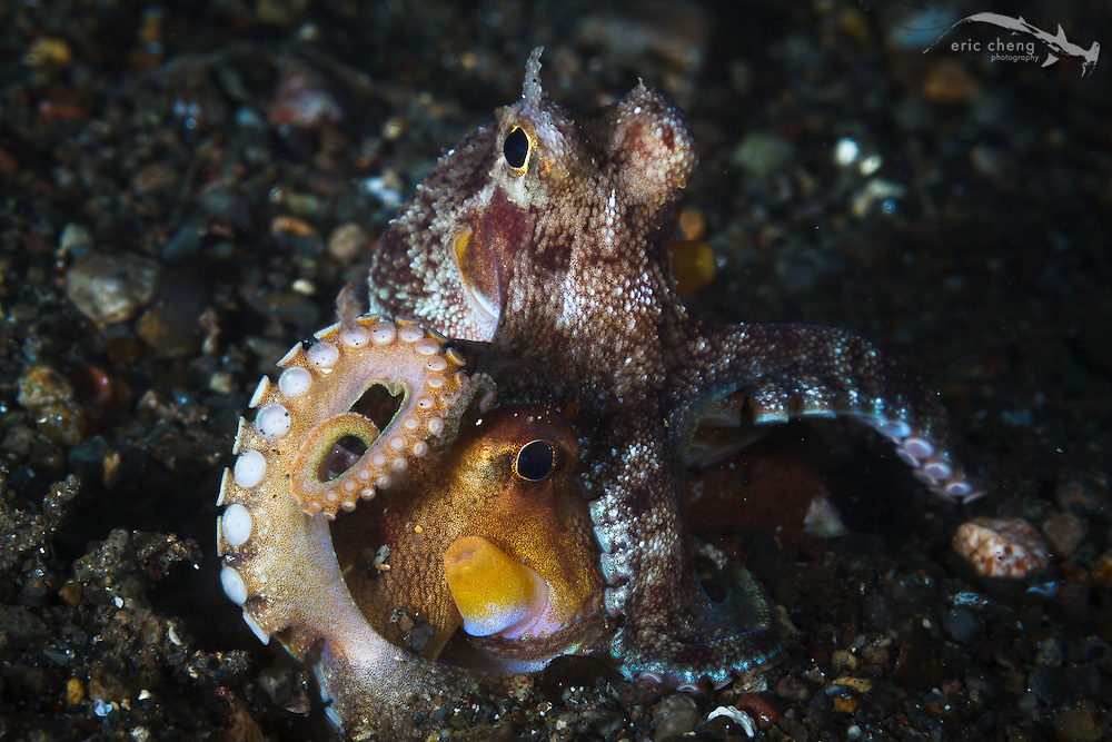 Two mating coconut octopi (Amphioctopus marginatus). The male extends a  special arm called a hectocotylus and delivers spermatophores in the female's mantle cavity. Beangabang, Indonesia.