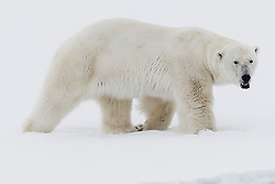 Portrait of a male polar bear (Ursus maritimus) in a snow white landscape, Svalbard, Norway, Arctic