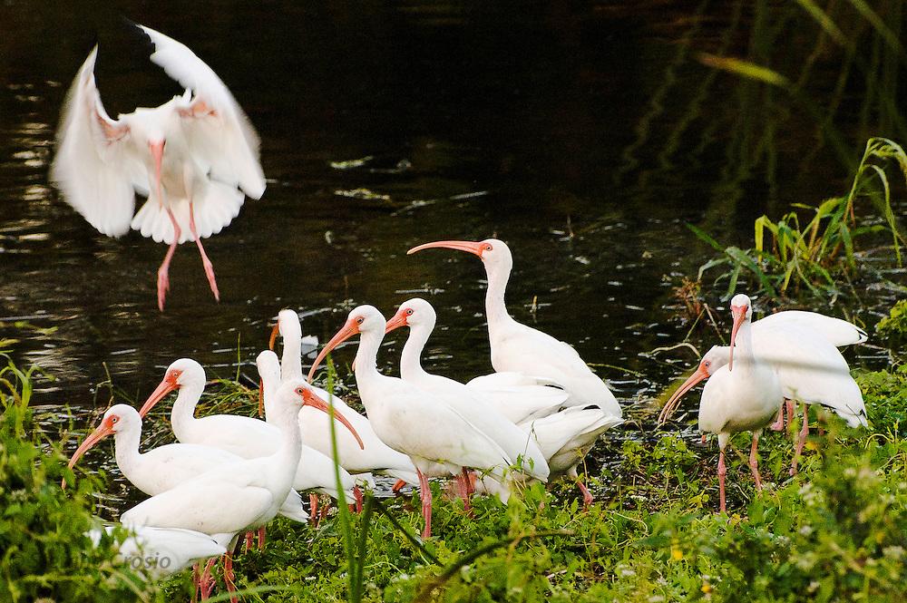 USA, Everglades National Park (FL).?White ibis (Eudocimus albus)