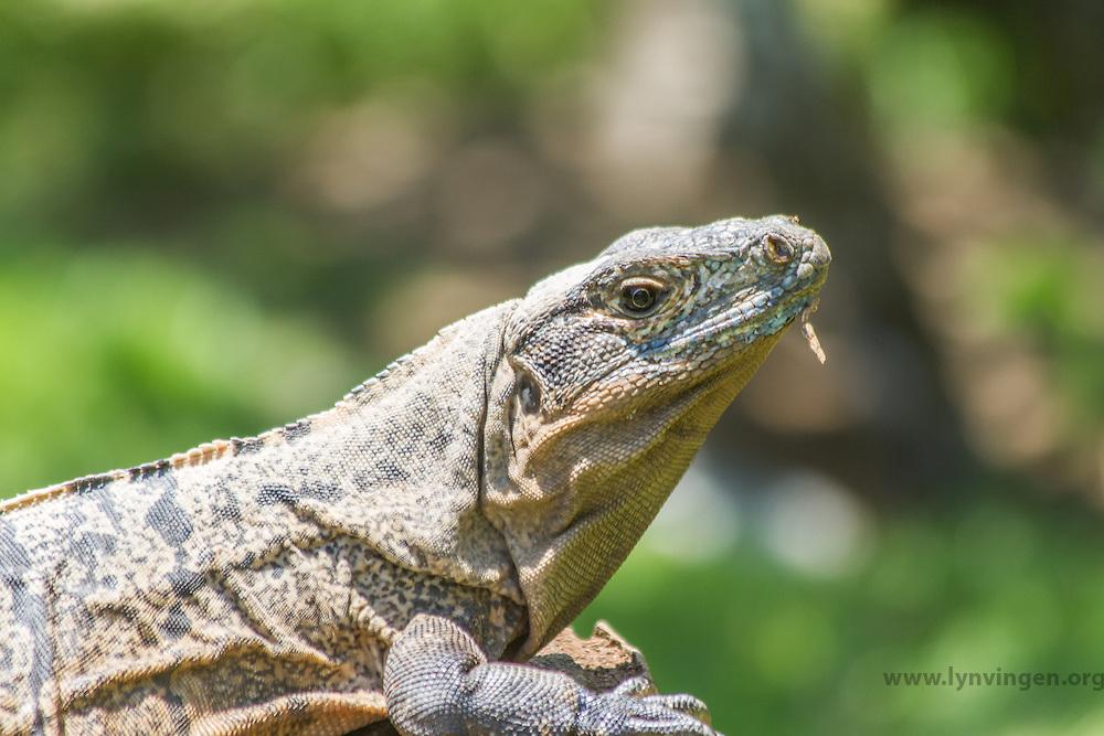 Iguana in Cost Rica