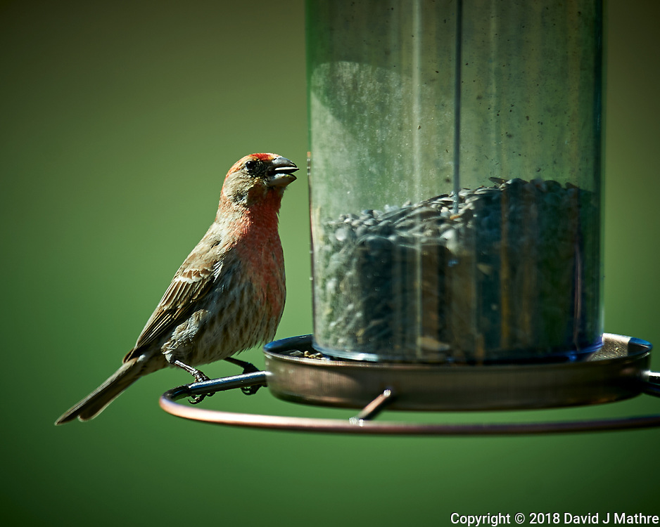 House Finch at a Bird Feeder. Image taken with a Nikon D4 camera and 600 mm f/4 VR lens (ISO 100, 600 mm, f/4, 1/400 sec)