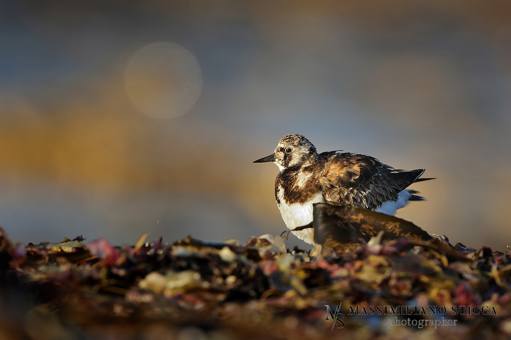 The Ruddy Turnstone (Arenaria interpres) is a small wading bird, one of two species of turnstone in the genus Arenaria. It is now classified in the sandpiper family Scolopacidae but was formerly sometimes placed in the plover family Charadriidae. It is a highly migratory bird, breeding in northern parts of Eurasia and North America and flying south to winter on coastlines almost worldwide. It is the only species of turnstone in much of its range and is often known simply as Turnstone.