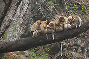 Golden snub-nosed monkey (Rhinopithecus roxellana qinlingensis) family group/harem resting/grooming in a tree, Zhouzhi, Shaanxi, China.