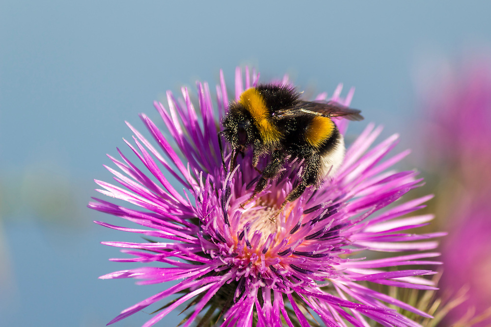 Commun Bee, polizating a Carpobrotus edulis, succulent plant, creeping, native to the Cape region in South Africa in regions with similar climate, such as the Mediterranean and parts of Australia and California, escaped the control human and has become an invasive species.