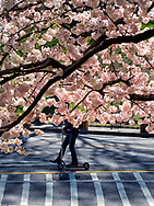 Cherry blossoms and a man on a scooter in Central Park, New York City.