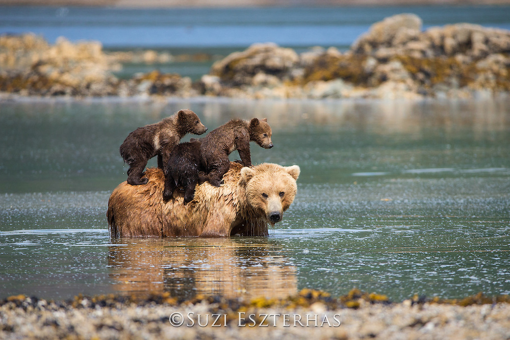 Brown Bear<br /> Ursus arctos <br /> 3-4 month old triplet cubs climbing on mother's back as she cools off in water<br /> Katmai National Park, AK