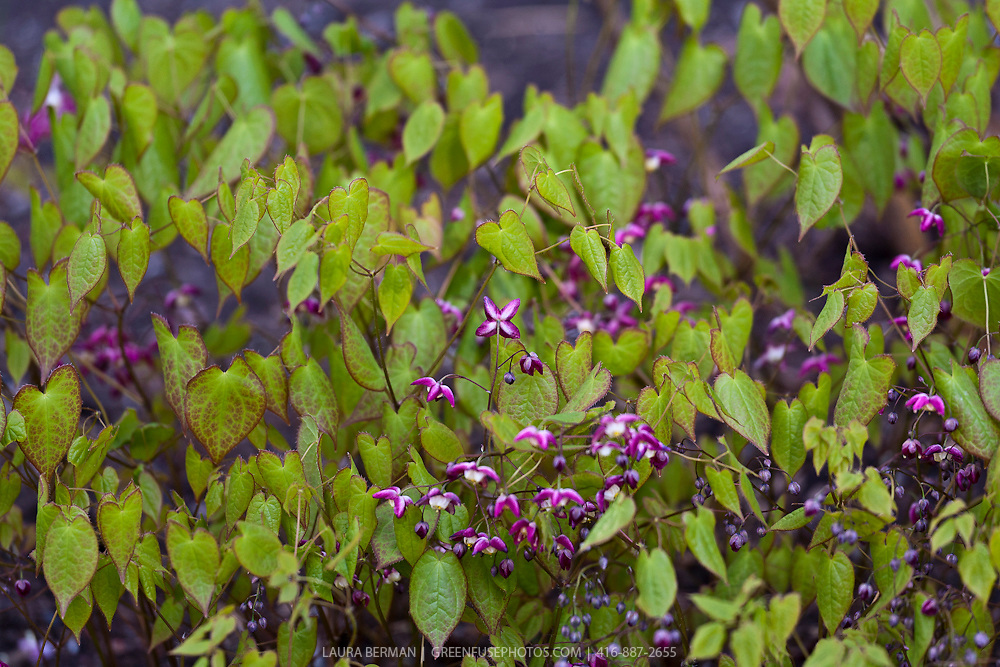 Red barrenwort (Epimedium  x 'rubrum')