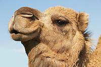 Close-up of camel's head against blue sky