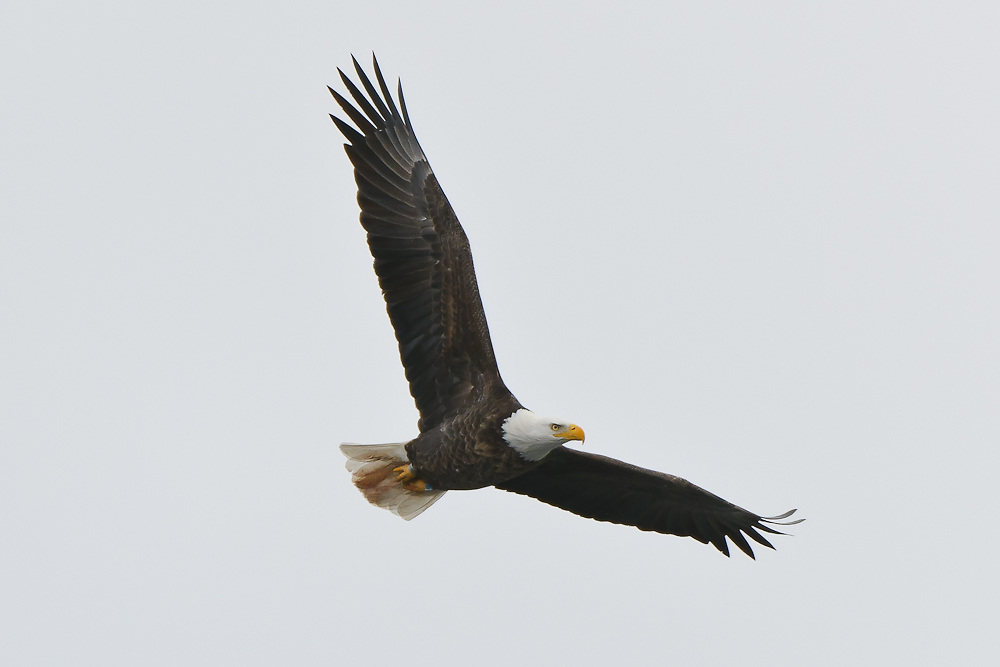 Bald Eagle of Baldwinsville