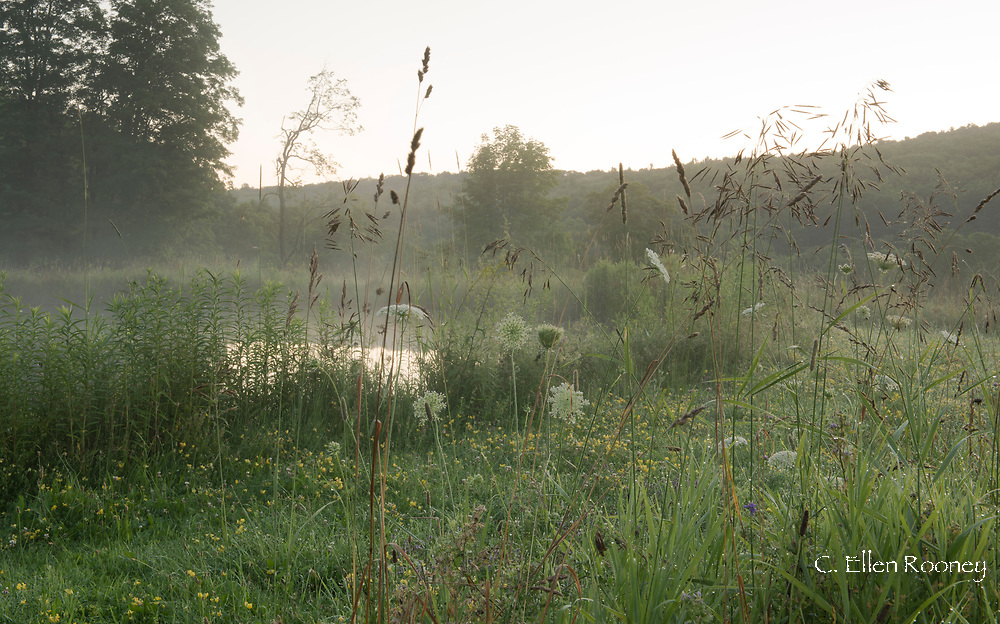 Grasses and wild flowers around a pond on a misty summer morning Alexandra Van Horne's garden in Hauverville, New York State, U.S.A.