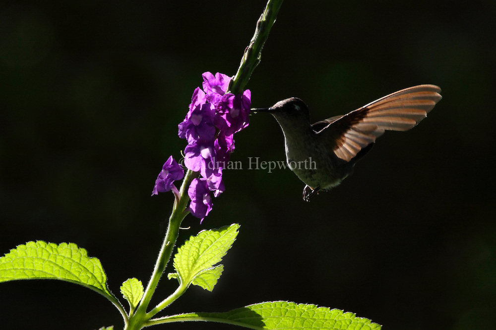 Female Violet-headed Hummingbird (Klais guimeti) feeding on Porterweed flowers (Stachytarpheta frantzii), La Selva Biological Station, Costa Rica. <br />