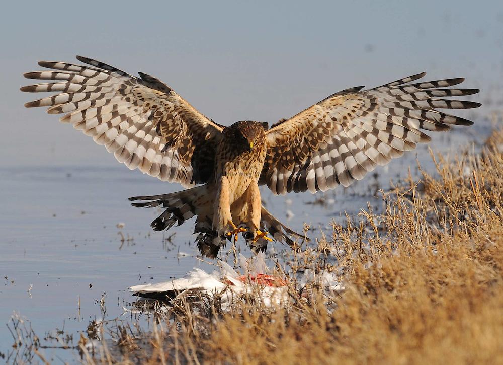 Northern Harrier, Circus cyaneus, attacking Snow Goose, Bosque del Apache, New Mexico