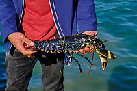France, Manche (50), îles Chausey, Grande Ile, pêcheur de homard bleu // France, Normandy, Manche department, Chausey isands, Grande Ile, blue lobster