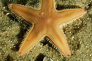Spiny comb starfish {Astropecten irregularis} from North Sea