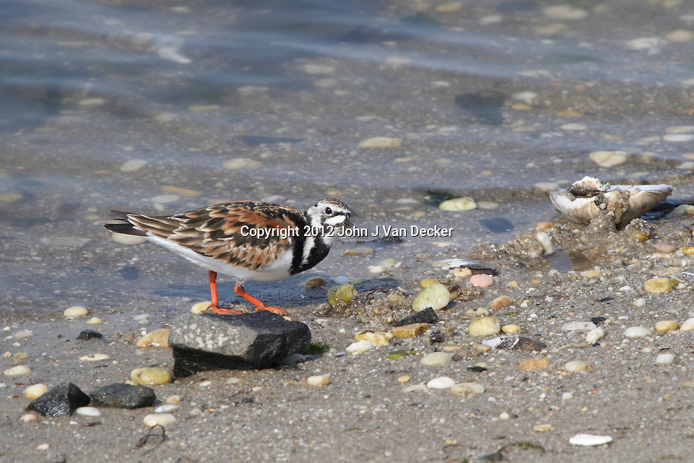 A Ruddy Turnstone, Arenaria interpres, in breeding plumage searching for food in a saltmarsh. Edwin B. Forsythe Nastional Wildlife refuge, Oceanville, New jersey, USA