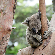 A koala sleeps on tree branches at Tarango Zoo in Sydney, Australia.
