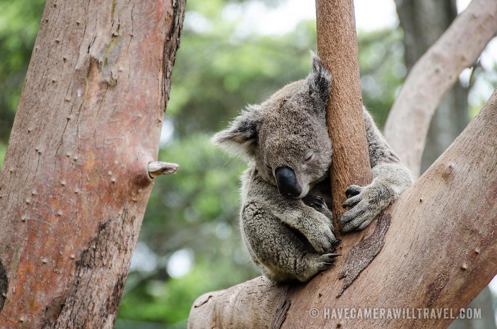 A koala sleeps on tree branches at Tarango Zoo in Sydney, Australia.