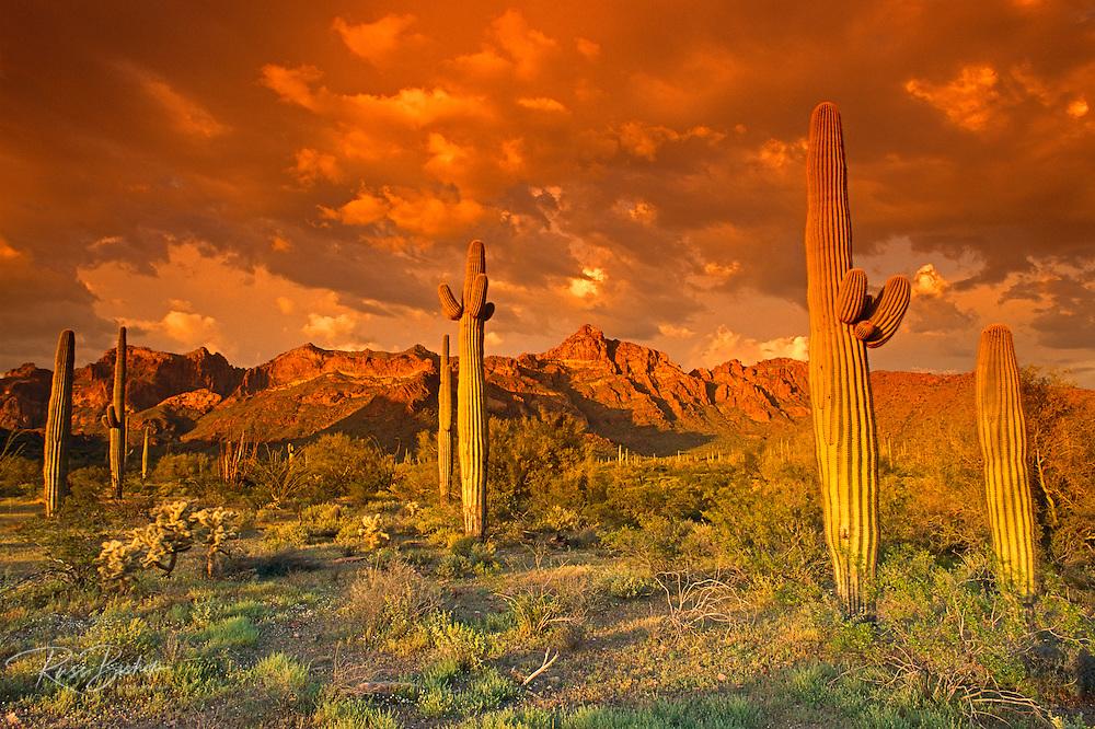 Saguaro Cactus under the Ajo Mountains, Organ Pipe Cactus National Monument, Arizona