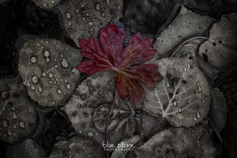 A red autumn leaf that is resting on aspen leaves with water drops from a stream depicts solitude.<br />