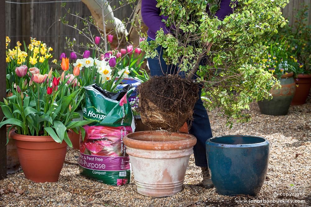 Potting up a pot bound shrub -  pittosporum