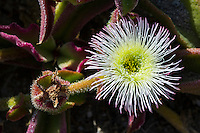Mesembryanthemum alatum flowers, Namaqua National Park, Northern Cape, South Africa,