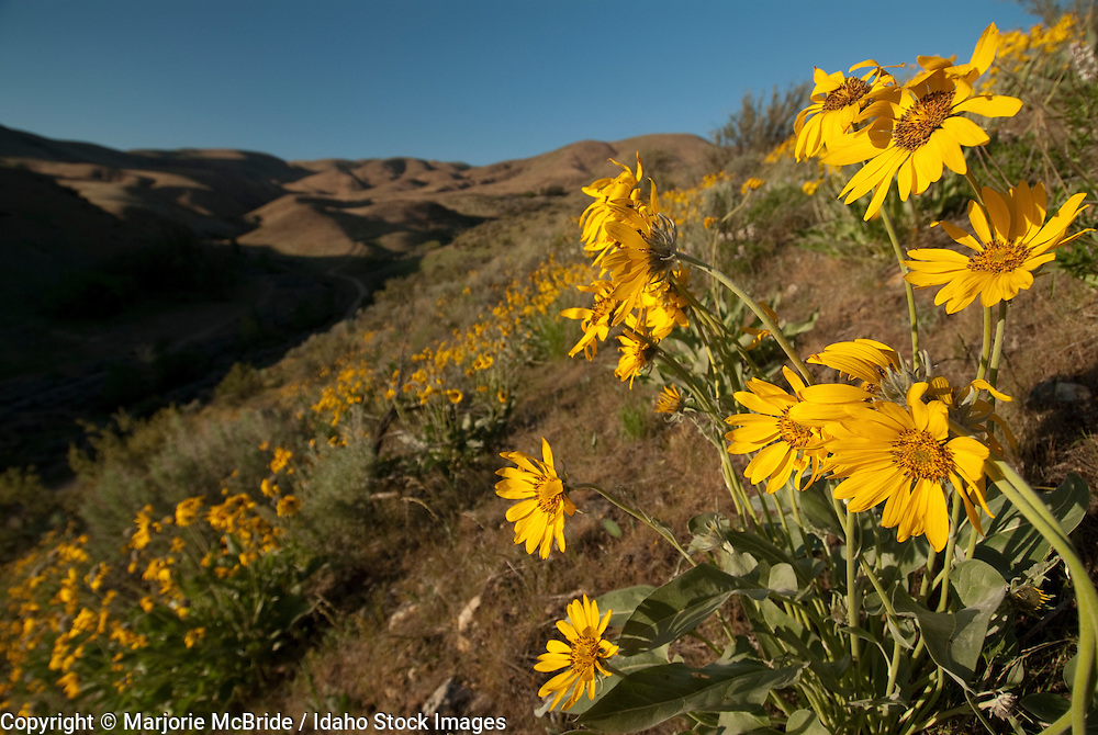 Spring wildflowers blooming at Council Springs trailhead in the Boise foothills, Idaho.