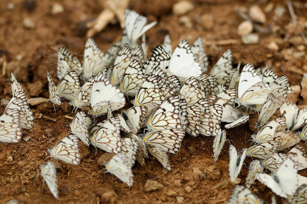 Butterflies, Quiver Tree Restcamp, Keetmanshoop, Karas Region, Namibia.
