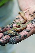 Sandworm (Alitta virens or Nereis virens); Frazer Point, Acadia National Park, Maine.