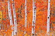 Snow on fall aspens along Bishop Creek, Inyo National Forest, Sierra Nevada Mountains, California USA