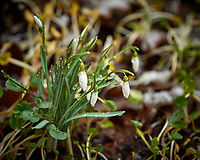 Snow Drops with a bit of snow during a Nor'easter. Image taken with a Nikon D5 camera and 300 mm f/4 lens (ISO 360, 300 mm, f/4, 1/320 sec).