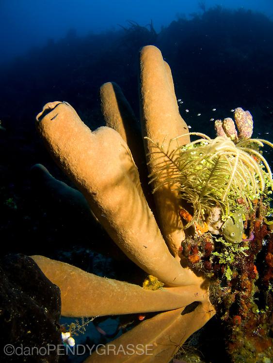 Tube sponges off the reef wall in Roatan, Honduras.